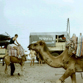Camel is Pakistan, on Bogdan's 1986 kayaking expedition